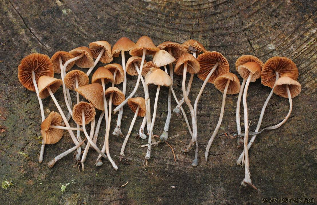 conocybe cyanpus